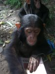 chimpdevil2